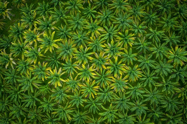 Luchtfoto van een palmolie industriële boom plantage patroon