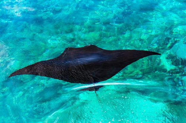 Luchtfoto van een zwarte pijlstaartrog swimmimg in een heldere blauwe zee op manta point