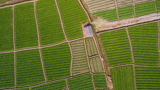 Luchtfoto van eenzaam huis in groene en gele rijst veld
