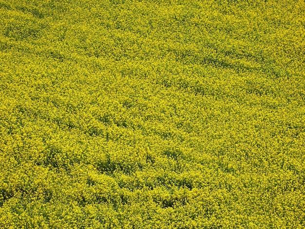 Luchtfoto van gele verkrachtingsbloemen, koolzaad of koolzaadveld. natuurlijke achtergrond.