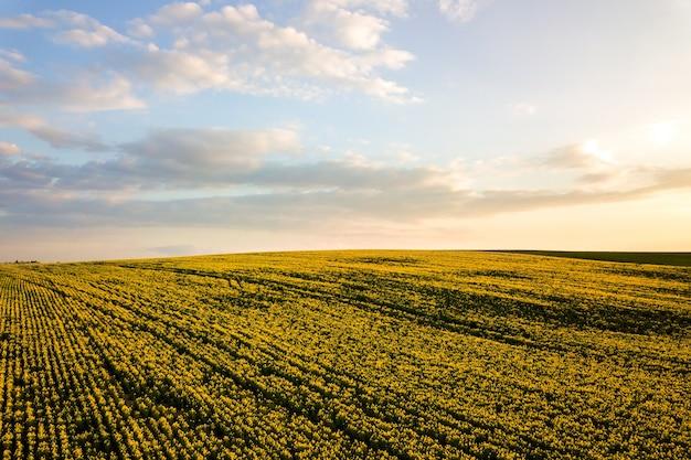 Luchtfoto van heldergroene boerderij landbouwgebied met groeiende koolzaadplanten bij zonsondergang.
