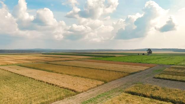 Luchtfoto van landelijke landbouw velden van rijp maïs en tarwe, omliggende wegen van het platteland tegen eenzame boom onder blauwe hemel met witte wolken in de zomer