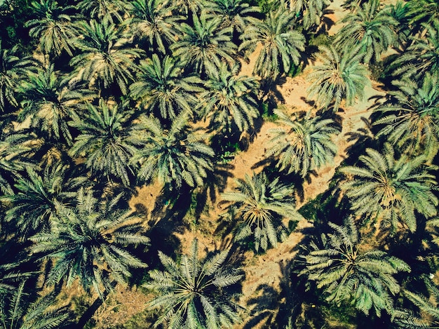 Luchtfoto van palmbomen plantage op een mooie zonnige dag. groen en geel contrast van palmen en zand geschoten vanuit de lucht. zomertijd in het midden-oosten. planten in warme klimatologische omstandigheden. zomer behang.