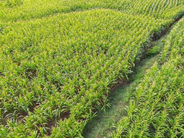 Luchtfoto veld natuur agrarische boerderij achtergrond, bovenaanzicht maïsveld van bovenaf met weglandbouwpercelen van verschillende maïsgewassen in groene kleuren