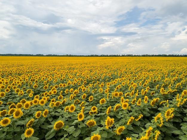 Luchtfotografie van vliegende drones tot een prachtig veld met zonnebloemen en bewolkte hemel in de zomer