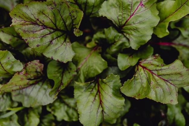 Luchtmening van rabarber in een tuin