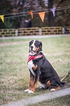 Lucky bernese berner sennenhund grote hond op groen veld. portret van grote binnenlandse hond. een prachtig dier met een bandana op de nek.
