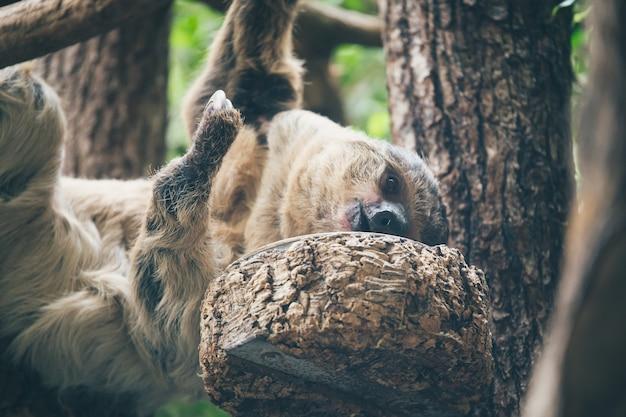 Luiaard die in boom hangt