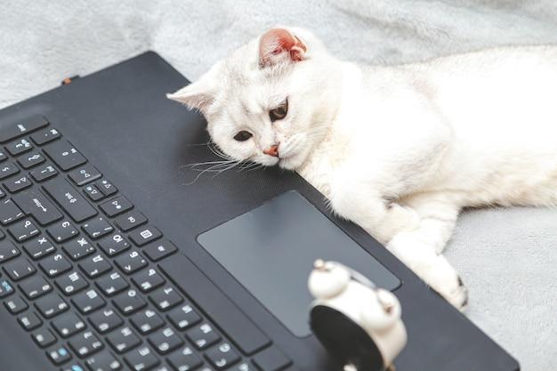 Luie en vermoeide witte britse kat die op laptop ligt. concept voor online leren, thuiswerken, zelfisolatie. humor.