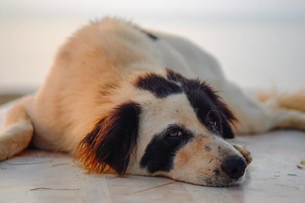 Luie hond die op de vloer ligt.