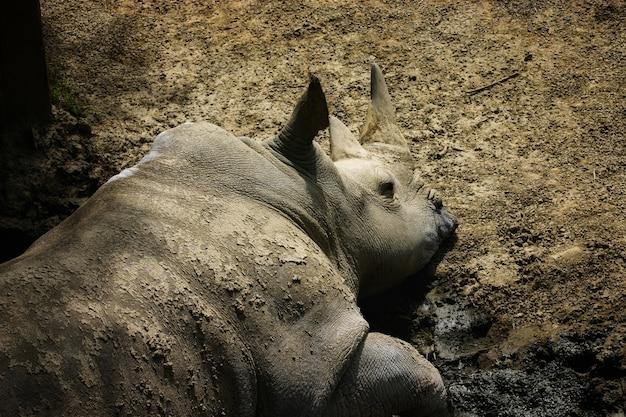 Luie neushoorn die op de grond in een dierentuin ligt