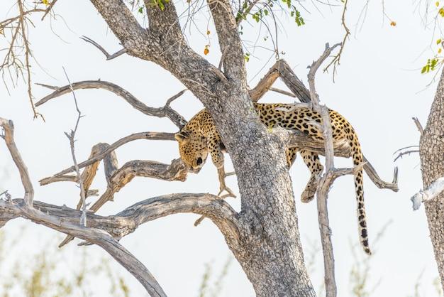 Luipaard die van acacia-boomtak neerstrijkt tegen witte hemel. wildsafari in het etosha national park, hoofdreisbestemming in namibië, afrika.
