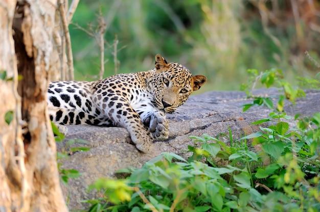 Luipaard in het wild op het eiland sri lanka
