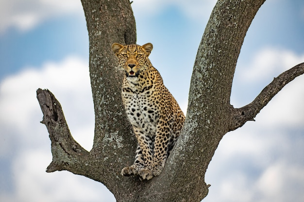 Luipaard op de boom