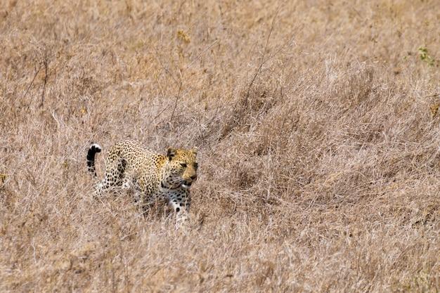 Luipaard uit serengeti national park, tanzania. afrikaanse dieren in het wild