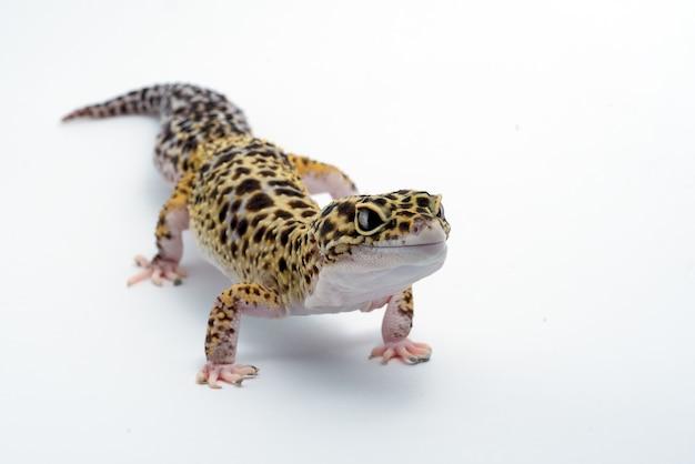 Luipaardgekko op geïsoleerde witte achtergrond