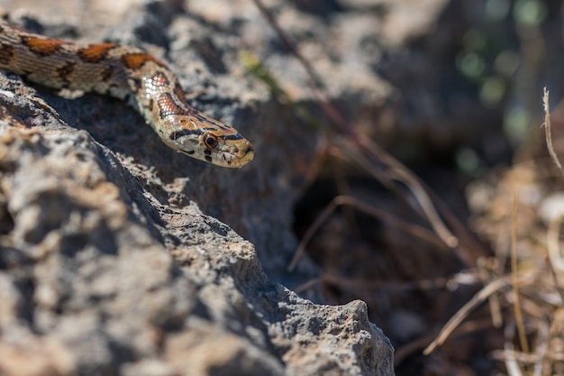 Luipaardslang die op rotsen en droge vegetatie glijdt