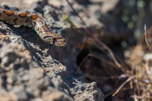 Luipaardslang of europese rattenslang, zamenis situla, glibberend op rotsen en droge vegetatie in malta
