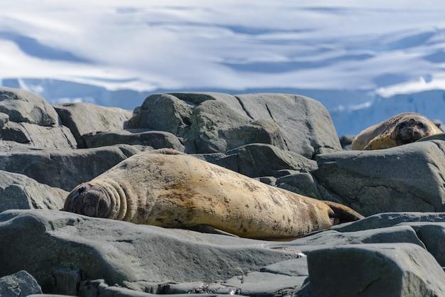 Luipaardverbinding op strand in antarctica
