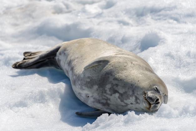 Luipaardverbinding op strand met sneeuw in antarctica