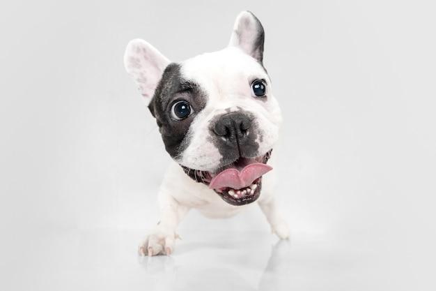 Luisteren naar jou. franse bulldog jonge hond is poseren. het leuke speelse wit-zwarte hondje of huisdier speelt en kijkt gelukkig geïsoleerd op witte achtergrond. concept van beweging, actie, beweging.