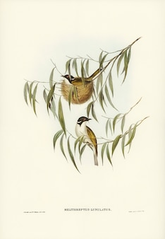 Lunulated honey-eater (melithreptus lunulatus) geïllustreerd door elizabeth gould