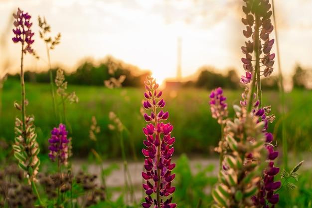 Lupine bloemen achtergrond veld van lupine bloemen in zonsondergang licht