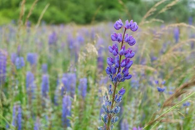 Lupine veld met roze paarse en blauwe bloemen. bos van de bloemachtergrond van de lupinezomer. lupinus.