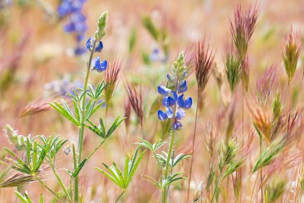 Lupine-wildflowers die in woestijn, zuidwesten, de vs bloeien.