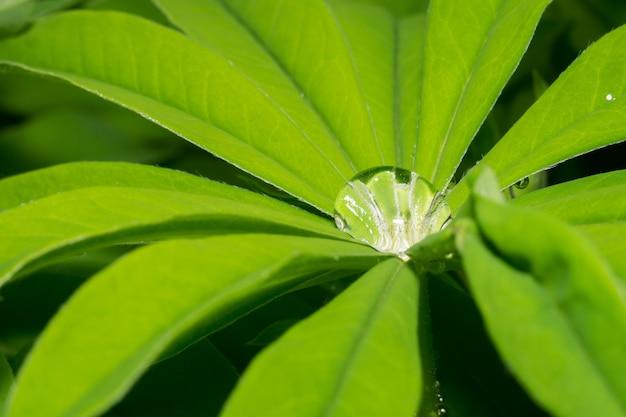 Lupinus bladeren en waterdruppels