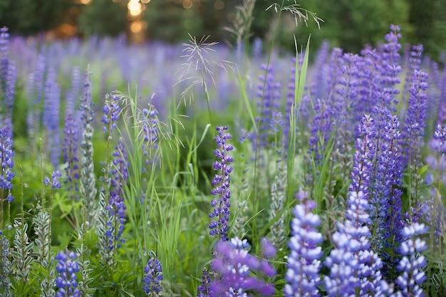 Lupinus, lupine, lupine veld met roze paarse en blauwe bloemen