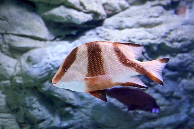 Lutjanus sebae, keizer rode snapper, is een soort snapper afkomstig uit de indische oceaan en de westelijke stille oceaan.