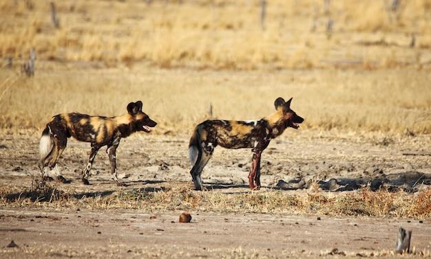 Lycaon pictus afrikaanse wilde honden