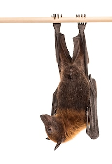 Lyle's vliegende vos hangend aan een tak, pteropus lylei, geïsoleerd