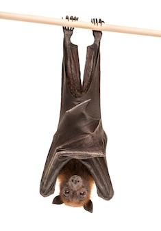 Lyle's vliegende vos opknoping van een tak, pteropus lylei, geïsoleerd