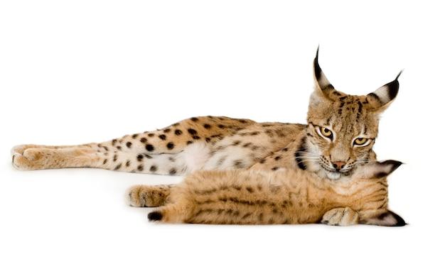Lynx en haar welp vooraan op een witte muur