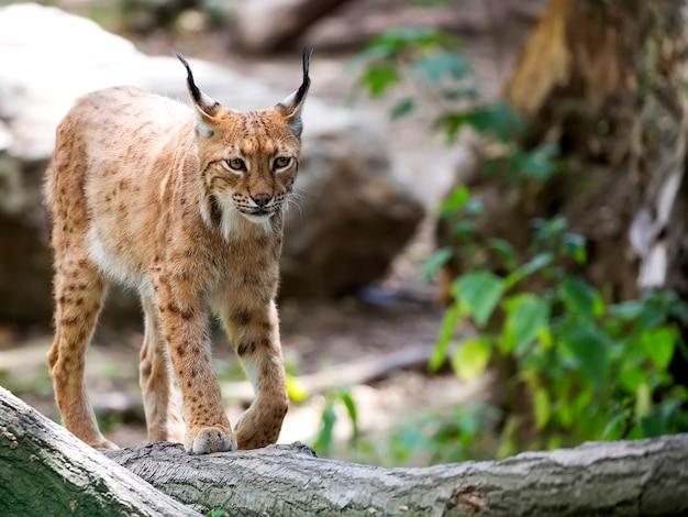 Lynx in het bos