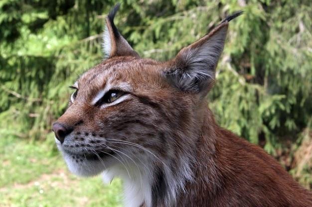 Lynx noordelijk eurasischer