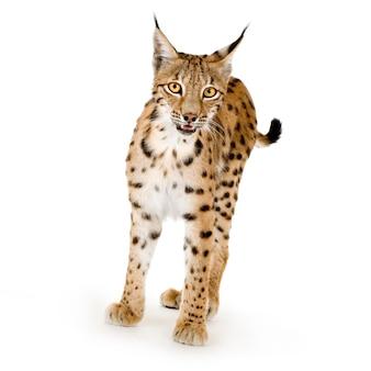 Lynx op wit