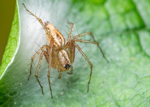 Lynx spin genaamd oxyopes sp kleine spin op een vijgenblad