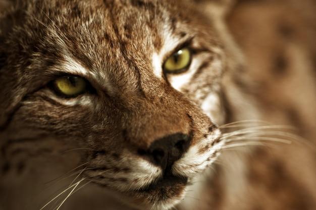 Lynx taxidermie