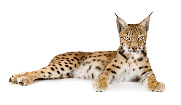 Lynx voor een witte achtergrond