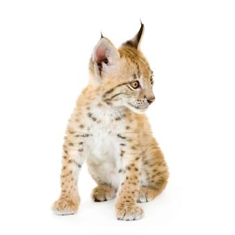 Lynx welp op wit
