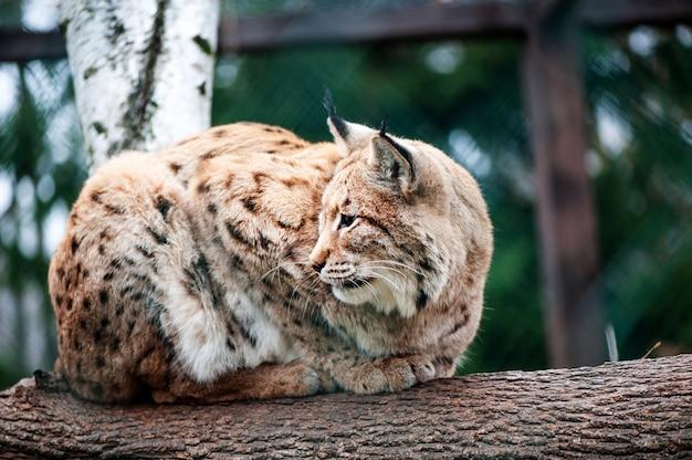 Lynx zittend op de boom