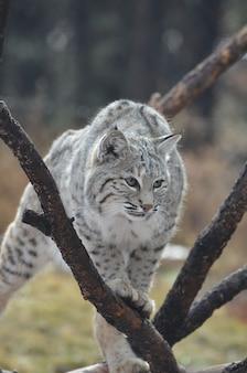 Lynxkat die over een omgevallen boom op de grond klimt.
