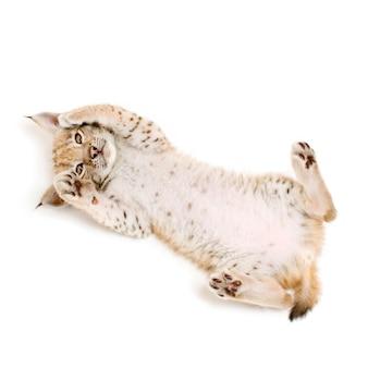 Lynxwelp op zijn rug op wit