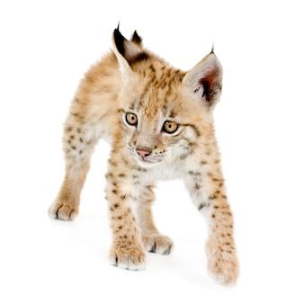 Lynxwelp vooraan op een witte muur