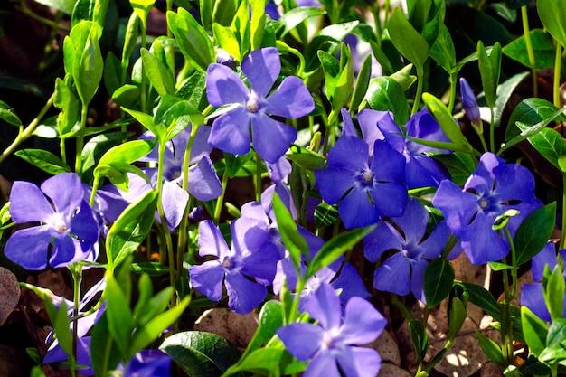 Maagdenpalm vulgaris, bloemen van helderblauwe kleur close-up