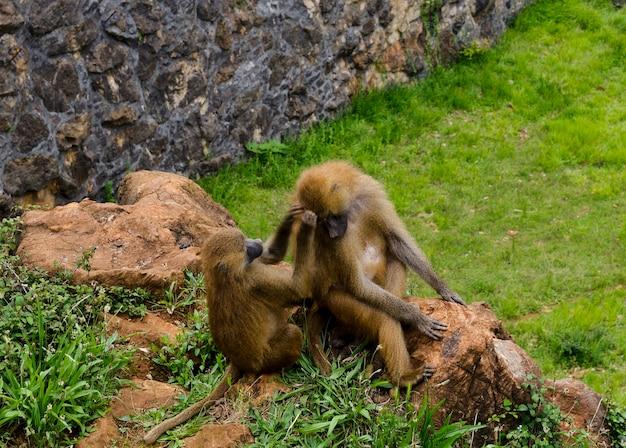 Macacos jugando en limpiandose Premium Foto