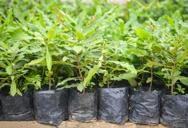 Macadamia-boom in zwarte plastic zak in de macadamia notenlandbouw van het installatiekinderdagverblijf